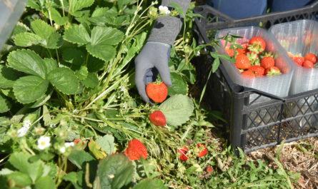 В Чувашии может появиться сельскохозяйственный клубничный кооператив