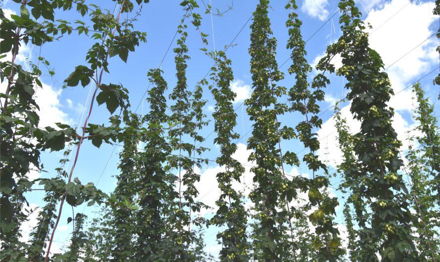 Возрождающиеся хмельники Чувашии дадут хороший урожай