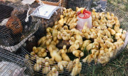 Госветслужба Чувашии опровергла информацию о гриппе птиц в республике