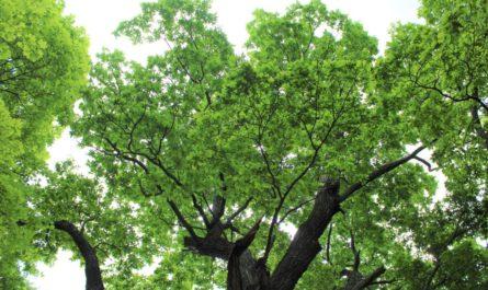 Итоги конкурса «Российское дерево года»: чувашский дуб стал вторым