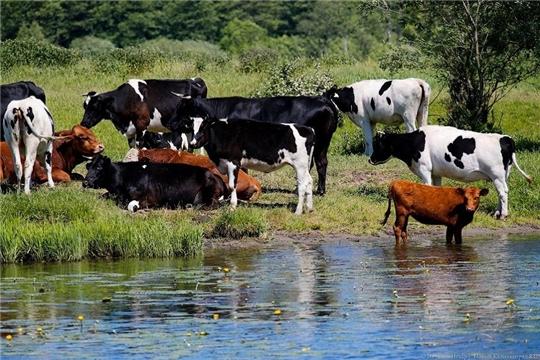 Жители Чувашии получили 100,8 млн рублей субсидий на содержание коров